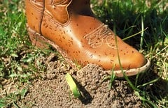 Fire ants swarming over a person's boot