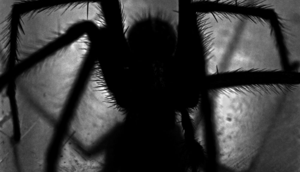 Imposing dark body of a venomous spider silhouetted