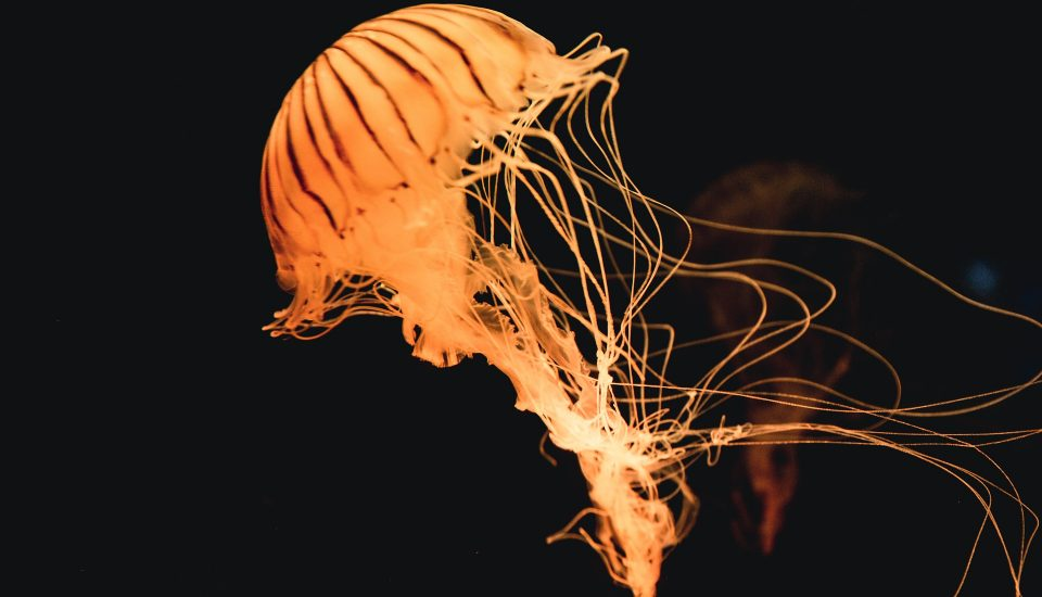 Jellyfish in Australia