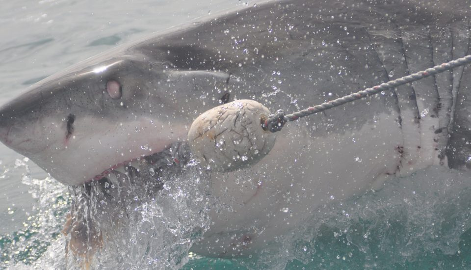 Shark Attack in Australia
