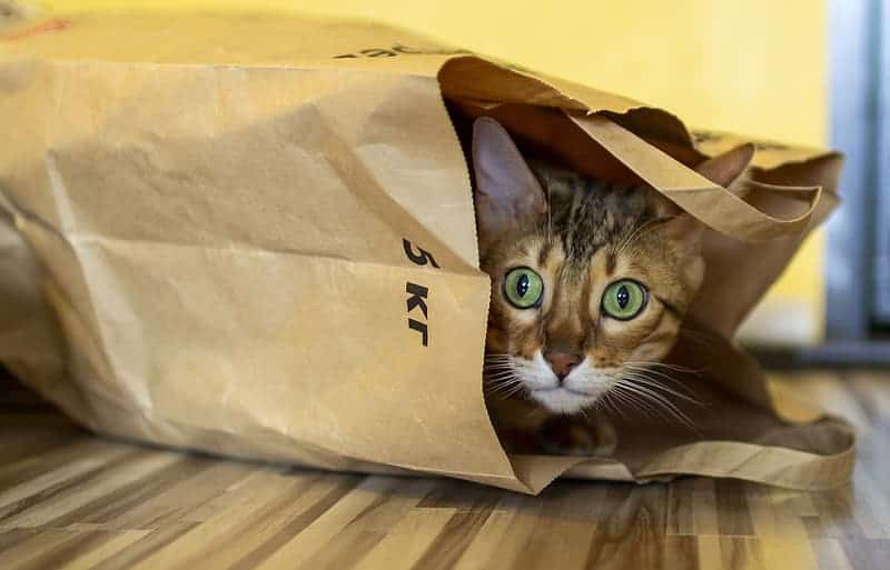 Green-eyed tabby cat in a brown paper bag.