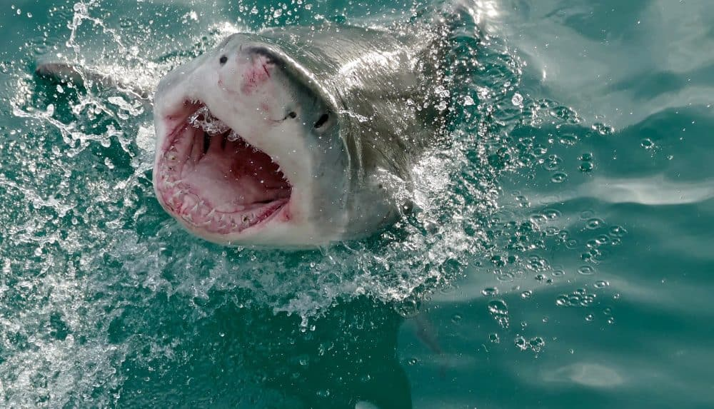 Great White Shark (Carcharodon carcharias) – photo by Bernard Dupont
