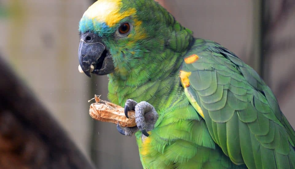 Parrot with a peanut – Photo Credit: Markus Distelrath from Pixabay